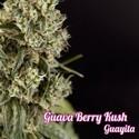 Guava Berry Kush (Philosopher Seeds) feminisiert