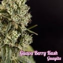 Guava Berry Kush (Philosopher Seeds) feminized