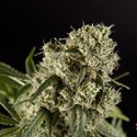 Guava Berry Kush (Philosopher Seeds) femminizzata