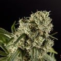 Guayita (Philosopher Seeds) feminized