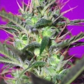 Botafumeiros (Sweet Seeds) feminisiert