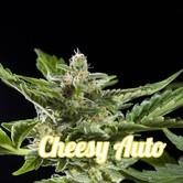 Cheesy Auto (Philosopher Seeds) femminizzata
