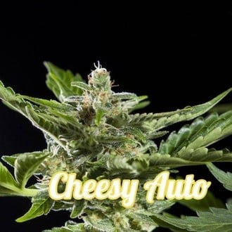 Cheesy Auto (Philosopher Seeds) feminisiert