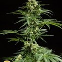Cheesy Auto (Philosopher Seeds) femminizzata