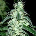 Hash Heaven (Soma Seeds) feminized