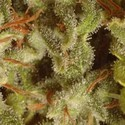 Collection Pack Sativa Champions (Paradise Seeds) femminizzato