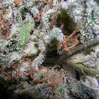 Collection Pack Indica Champions (Paradise Seeds) femminizzato