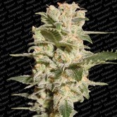 Belladonna (Paradise Seeds) feminized