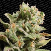 Dutch Dragon (Paradise Seeds) femminizzata
