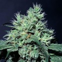 Dutch Dragon (Paradise Seeds) feminisiert
