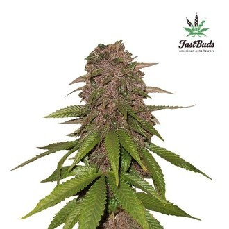 C4-Matic (FastBuds) feminized