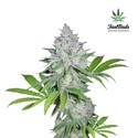 Californian Snow Auto (FastBuds) feminized