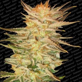 Ice Cream (Paradise Seeds) femminizzata