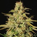 Jacky White (Paradise Seeds) feminized