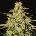 Jacky White (Paradise Seeds) femminizzata