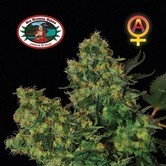 Chiesel Automatic (Big Buddha Seeds) feminized