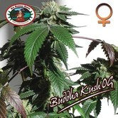 Buddha Kush OG (Big Buddha Seeds) feminisiert