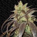 Spoetnik 1 (Paradise Seeds) femminizzata