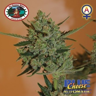 Blue Cheese Automatic (Big Buddha Seeds) feminisiert