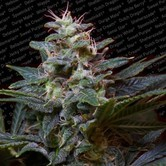 Sweet Purple (Paradise Seeds) femminizzata