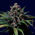 Sweet Purple (Paradise Seeds) feminized