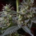 Sweet Purple (Paradise Seeds) feminisiert