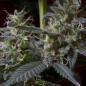 Sweet Purple (Paradise Seeds) feminisiert