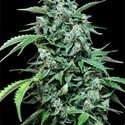 Maxi Haze (Grass-0-Matic) feminized