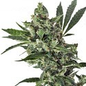 Med Gom 1 (Grass-O-Matic) feminized