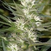 Cole Train (Reserva Privada) feminized