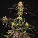 White Berry (Paradise Seeds) feminisiert