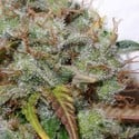 White Berry (Paradise Seeds) feminized