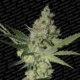Acid (Paradise Seeds) feminized