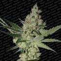Acid (Paradise Seeds) femminizzata