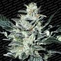Sensi Star (Paradise Seeds) feminisiert