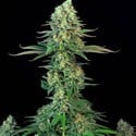 Bubblegum (T.H. Seeds) feminized