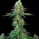 Bubblegum (T.H. Seeds) feminized