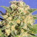 Auto Destroyer (Original Sensible Seeds) feminisiert