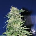 K2 (Homegrown Fantaseeds) feminized