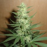 Big Bud (Homegrown Fantaseeds) Femminizzata