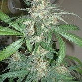 Amazing Haze (Homegrown Fantaseeds) feminisiert