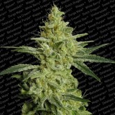 Allkush (Paradise Seeds) feminized