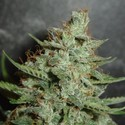 Super Crystal (Homegrown Fantaseeds) feminisiert