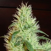 White Widow (Homegrown Fantaseeds) femminizzata