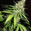 Top 44 (Homegrown Fantaseeds) femminizzata