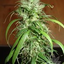 Haze (Homegrown Fantaseeds) feminized