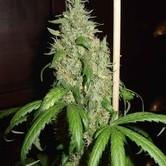 Skunk 1 (Homegrown Fantaseeds) femminizzata