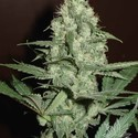 HG Cheese (Homegrown Fantaseeds) feminized