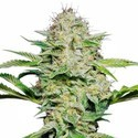 Sensi Skunk Automatic (Sensi Seeds) feminized