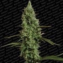 Atomical Haze (Paradise Seeds) feminisiert
